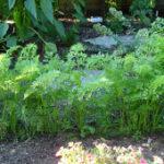 carrot_plants