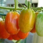 grape_tomatoes1
