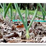 spring_garlic2_032010