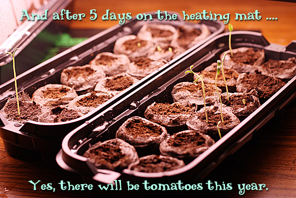 And after 5 days on the heating mat ... yes, there will be tomatoes this year.