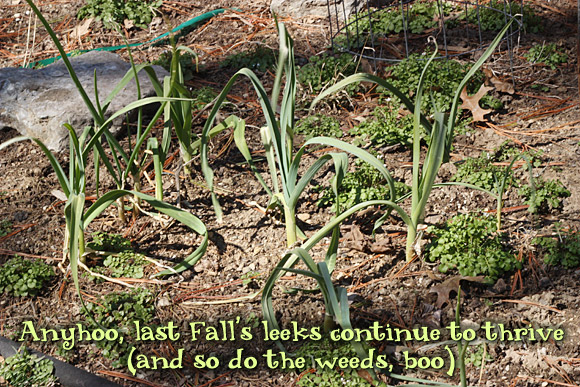 Anyhoo, last Fall's leeks continue to thrive (and so do the weeds, boo)