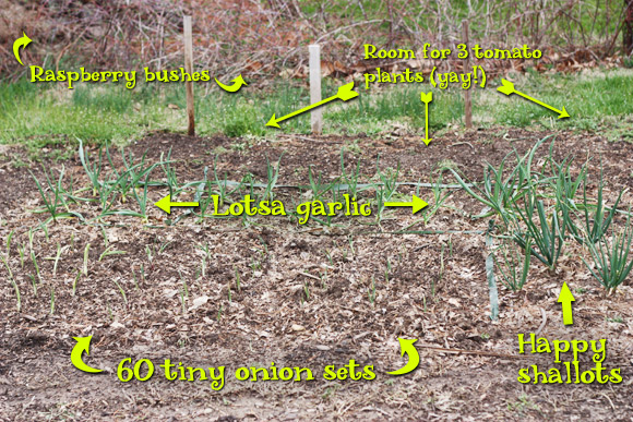 Raspberry bushes, garlic, onions and shallots