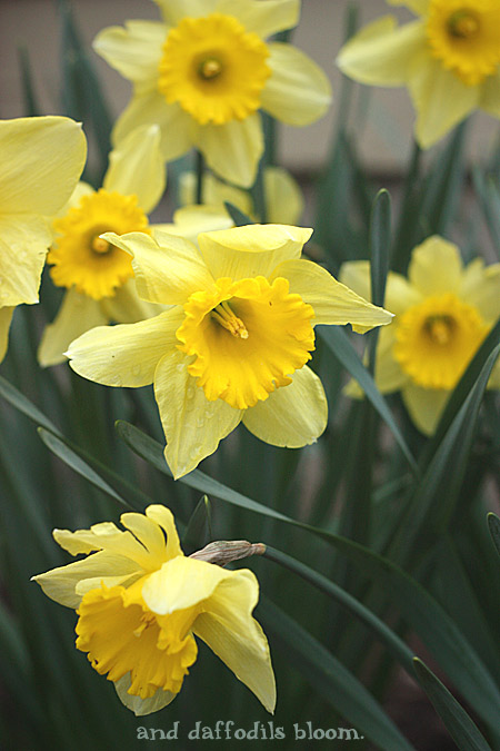 And, daffodils bloom.