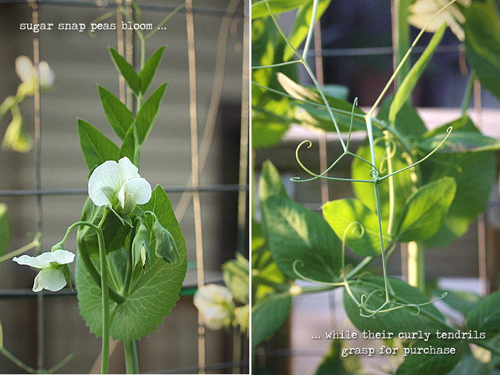 Sugar snap peas bloom while their curly tendrils grasp for purchase