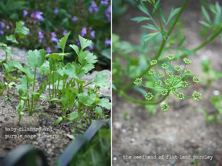 baby cilantro + purple sage flowers + seedhead of flat parsley