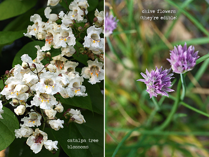 catalpa tree blossoms + chive flowers