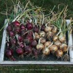 onions-and-shallots-4-070412