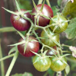 fall-gardens-2012-blackcherries
