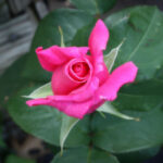 spring-garden-rose1
