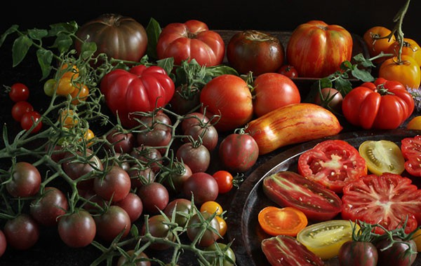 A selection of omegrown tomatoes, newly harvested
