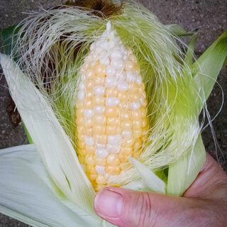In Praise of the Old Ways, Plus Preserving Corn